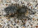 Terralonus californicus - female