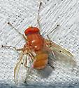 Unidentified Fly - Ormia reinhardi - male