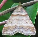 Dark-banded Owlet - Phalaenophana pyramusalis