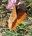Fritillary #3 - Speyeria aphrodite - male