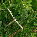 Pterophoridae to identify