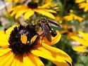 Bee Fly - Lepidophora lepidocera