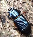 beetle carrying arachnids - Odontotaenius disjunctus