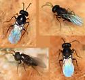 gypsy moth egg parasitoid wasp - Ooencyrtus kuvanae