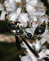Zethus spinipes variegatus again? - Zethus spinipes - male