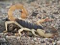Desert hairy scorpion - Hadrurus spadix