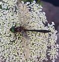 Cordulia shurtleffii - male