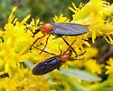 Dilophus spinipes - female