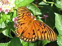 beautiful butterfly - Agraulis vanillae