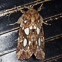 Silver-spotted Fern Moth - Hodges #9633 - Callopistria cordata