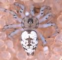 Oecobius male - Oecobius maculatus - male