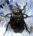 Large Beetle - Osmoderma eremicola