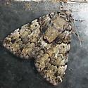 Allotria elonympha - False Underwing (?) - Allotria elonympha