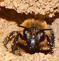 Habropoda laboriosa- Female - Colletes ultravalidus