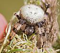 Spider from Queen Anne's Lace - Araneus trifolium - female