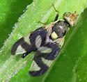 Canada Thistle Stem Gall Fly - Urophora cardui