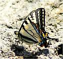 Tiger Swallowtail - Papilio canadensis - male