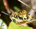 Chalcididae sp.? - Conura nigricornis