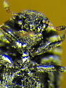Dermestid - Megatoma - female