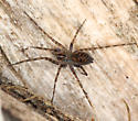 spider - not collected - Calymmaria