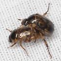 Shining Leaf Chafer Beetles - Anomala undulata - male - female