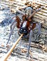 Amaurobiidae? 2 - Callobius pictus