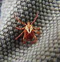 American Dog Tick (female) - overhead view - Amblyomma maculatum - female