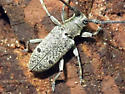 Long-horned Beetle - Microgoes oculatus