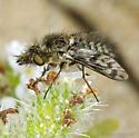 Conophorus...thinking fenestratus? - Conophorus collini - female