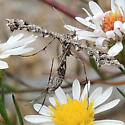 Plume Moth - Amblyptilia pica
