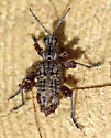 Pine Beetle - Rhagium inquisitor