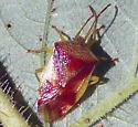 Stink Bugs, Euschistus? - Elasmostethus cruciatus