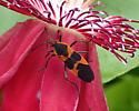 Oncopeltus fasciatus nectaring on passiflora - Oncopeltus fasciatus