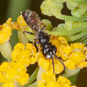 Small Wasp? - male