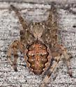 Eustala ? - Larinioides patagiatus