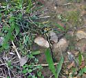 Gomphus? - Phanogomphus graslinellus - male