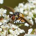 tiny fly - Xanthomelanodes