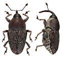 unknown weevil - Odontocorynus umbellae
