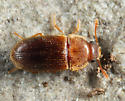 beetle - Typhaea stercorea