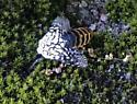 Unidentified insect - Hypercompe scribonia