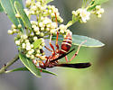 paper wasp - Polistes bellicosus - female