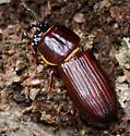 Large Brown Beetle - Odontotaenius disjunctus