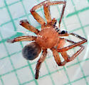 male spider - male