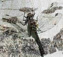 Ebony boghaunter - Williamsonia fletcheri - female