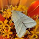 Noctuidae ? - Chloridea virescens