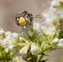 Anthophorula - Anthophorula albicans - female