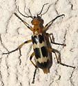 Orange, tan, and black blister beetle - Pyrota