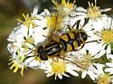 Helophilus latifrons? - Helophilus fasciatus