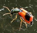 Beetle - Anthocomus equestris