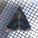 Texas SE Gulf Coast - Tetanolita mynesalis - male
